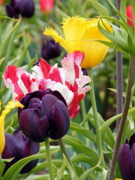 Tulpen bringen Farbe ins Beet (c) Frank Koebsch