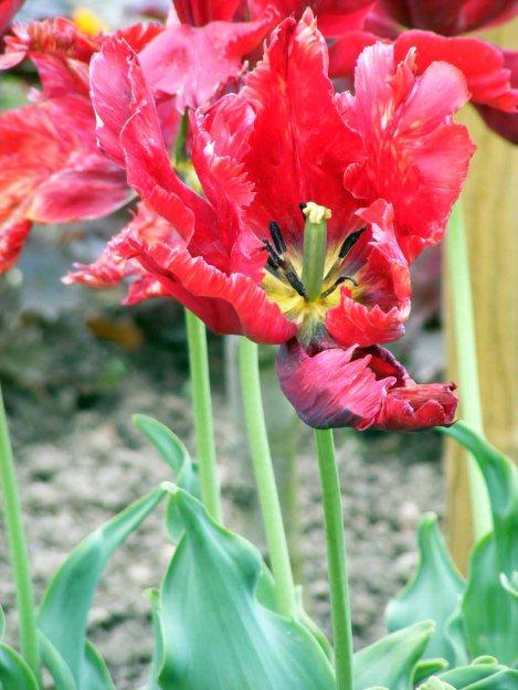 Tulpen haben Wunderbare Rottöne (c) Frank Koebsch (2)