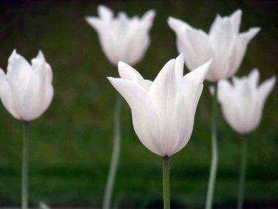 Weiße Tulpen (c) Frank Koebsch