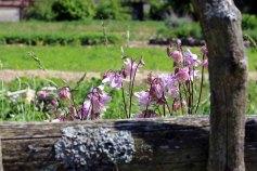 Akelei in der Schlossgärtenerei von Wiligrad (c) Frank Koebsch (3)