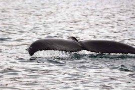 Fluke eines Buckelwals im Fjord von Akureyri (c) Frank Koebsch