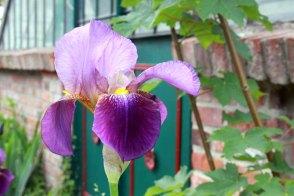 Irisblüten der Schlossgartnerei Wiligrad sind tolle Motive (c) Frank Koebsch (5)
