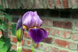 Irisblüten der Schlossgartnerei Wiligrad sind tolle Motive (c) Frank Koebsch (6)