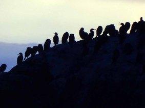 Kormorane in der Mitternachtssonne beim Nordkap (c) Frank Koebsch