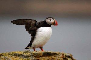Papageientaucher auf Island (c) Frank Koebsch