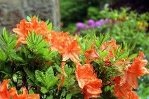 Rhododendren Blüten im Park von Schloss Wiligrad (c) Frank Koebsch (5)