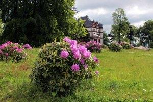 Rhododendren Blüten im Park von Schloss Wiligrad (c) Frank Koebsch (7)