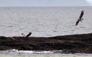 Seeadler bei den Vogelkolonien von Gjesvaer in der Nähe des Nordkaps (c) Frank Koebsch (1)