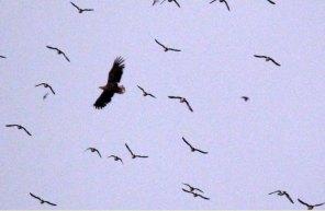 Seeadler und Möwen bei den Vogelkolonien von Gjesvaer in der Nähe des Nordkaps (c) Frank Koebsch