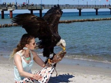 Weißkopfseeadler und Model am Strand von Zingst (c) Frank Koebsch (1)