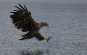 Aalfred - Seeadler im Zielanflug (c) Frank Koebsch