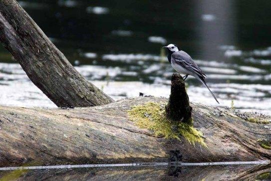 Bachstelze auf dem Schweingarten See (c) Frank Koebsch