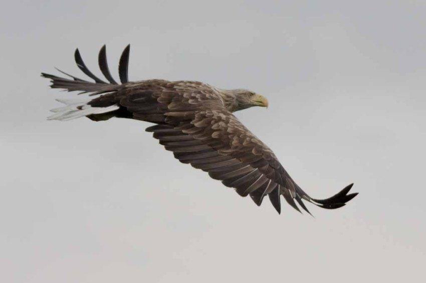 Majestätisch - Seeadler in der Feldberger Seelandschaft (c) Frank Koebsch