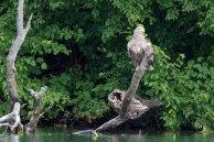 Seeadler am Ufer des Breiten Luzin (c) Frank Koebsch (1)