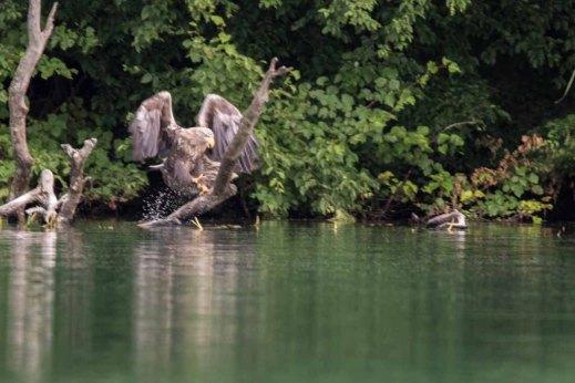 Seeadler am Ufer des Breiten Luzin (c) Frank Koebsch (3)