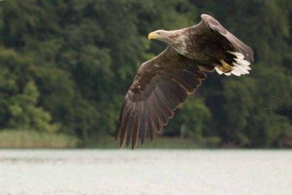 Seeadler über dem Breiten Luzin (c) Frank Koebsch (2)