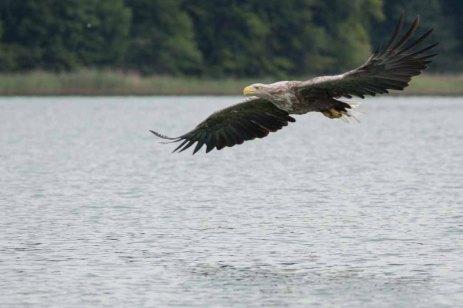 Seeadler über dem Breiten Luzin (c) Frank Koebsch (3)