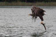 Seeadler nach erfolgreichen Anflug (c) Frank Koebsch