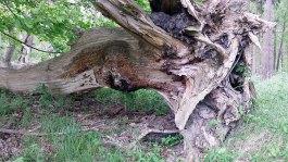 Baumriese im Müritz Nationalpark (c) Frank Koebsch