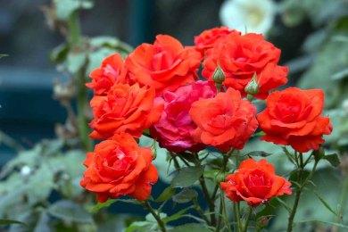 Rosen auf dem Müritzhof (c) Frank Koebsch