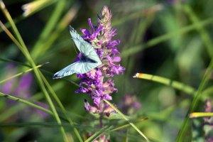 Schmetterlinge im Spätsommer an der Müritz (c) Frank Koebsch (1)