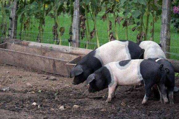 Schweine auf dem Müritzhof (c) Frank Koebsch (1)