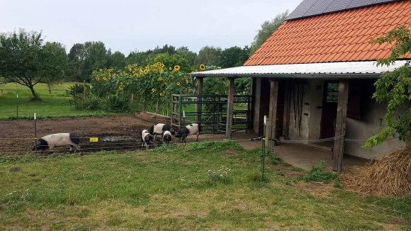 Schweine auf dem Müritzhof (c) Frank Koebsch