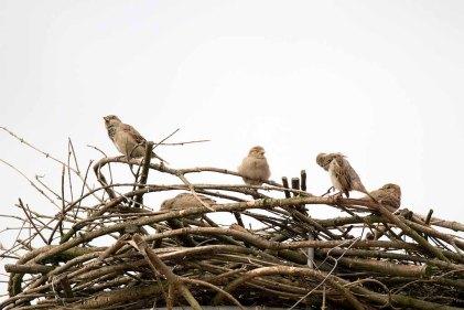 Wenn sich Spatzen ein Nest aussuchen (c) Frank Koebsch (1)