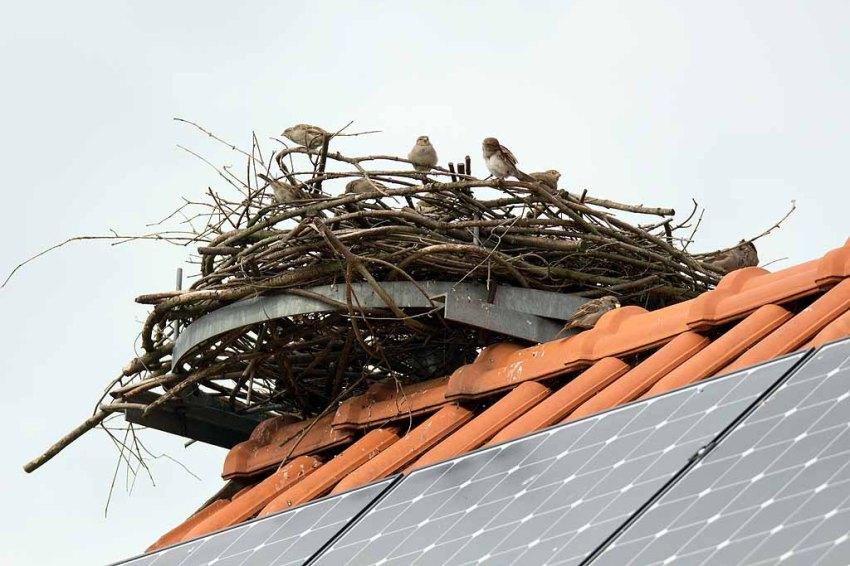 Wenn sich Spatzen ein Nest aussuchen (c) Frank Koebsch (2)