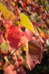 Bunte Blätter an den Schlossterrassen im Park von Putbus (c) Frank Koebsch (3)