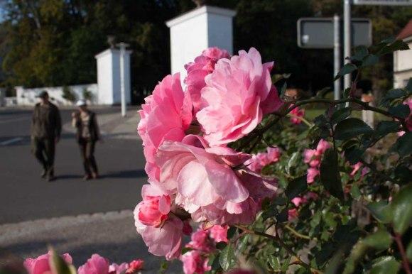 Rosen am Circus von Putbus (c) Frank Koebsch (8)