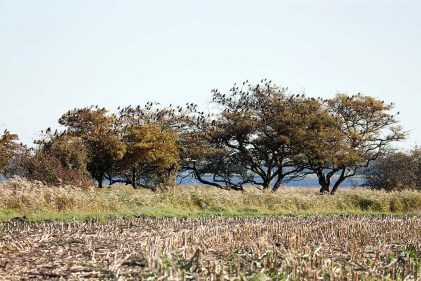 Stare in den Büschen auf den Boddenwiesen auf Ummanz (c) Frank Koebsch (5)