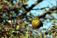 Vogelzug - Girlitz auf Ummanz (c) Frank Koebsch (4)