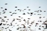Vogelzug - Stare auf Ummanz (c) Frank Koebsch (1)