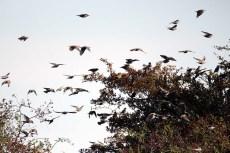 Vogelzug - Stare auf Ummanz (c) Frank Koebsch (2)