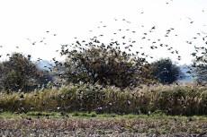 Vogelzug - Stare auf Ummanz (c) Frank Koebsch (6)