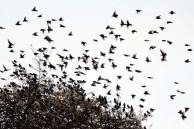 Vogelzug - Stare auf Ummanz (c) Frank Koebsch (8)