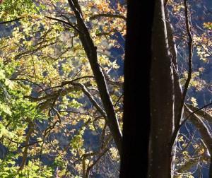 wunderbare Farben der Buchen Rügens im Herbst (c) Frank Koebsch (1)