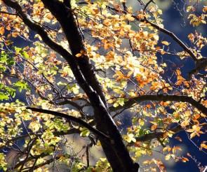 wunderbare Farben der Buchen Rügens im Herbst (c) Frank Koebsch