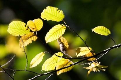 wunderbare Herbstfarben im Buchenwald Rügens (c) Frank Koebsch (2)