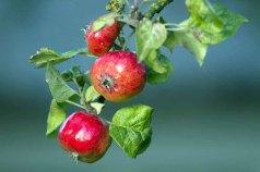 Äpfel im Bauerngarten von Middelhagen (c) Frank Koebsch(3)