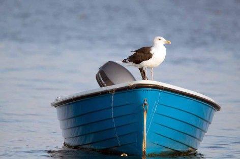Möwe als Passagier auf einem Boot vor Middelhagen (c) Frank Koebsch