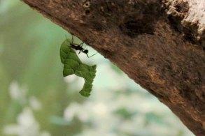 Nachtschicht bei den Blattschneide Ameisen im Darwineum (c) Frank Koebsch