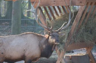 Aquarellkurs Hirsche - Wapities im Rostocker Zoo (c) Frank Koebsch (1)