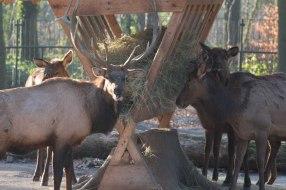 Aquarellkurs Hirsche - Wapities im Rostocker Zoo (c) Frank Koebsch (2)