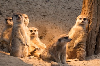 Aquarellkurs im Rostocker Zoo bei den Erdmänchen (c) Frank Koebsch (1)