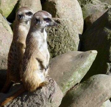 Aquarellkurs im Rostocker Zoo bei den Erdmänchen (c) Frank Koebsch (3)