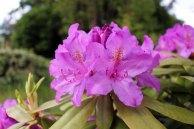 Aquarellkurs zur Rhododendren Blüten im Rostocker Zoo (c) Frank Koebsch (1)