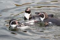 Malevent für Familien im Rostocker Zoo - Pinguine (c) Frank Koebsch (1)