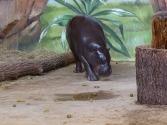 Malevent im Rostocker Zoo bei den Zwergflusspferde (c) Frank Koebsch (1)